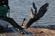 Immature Brown Pelican fighting off a Great Blue Heron who is intent on eating the leftovers from a shrimp boat spilled onto the dock.