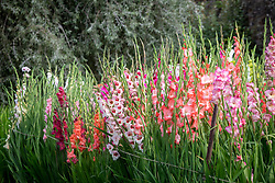 The gladiolus trial at Parham House. Gladiolus 'Perry', 'Pink Lady' and 'Priscilla'.