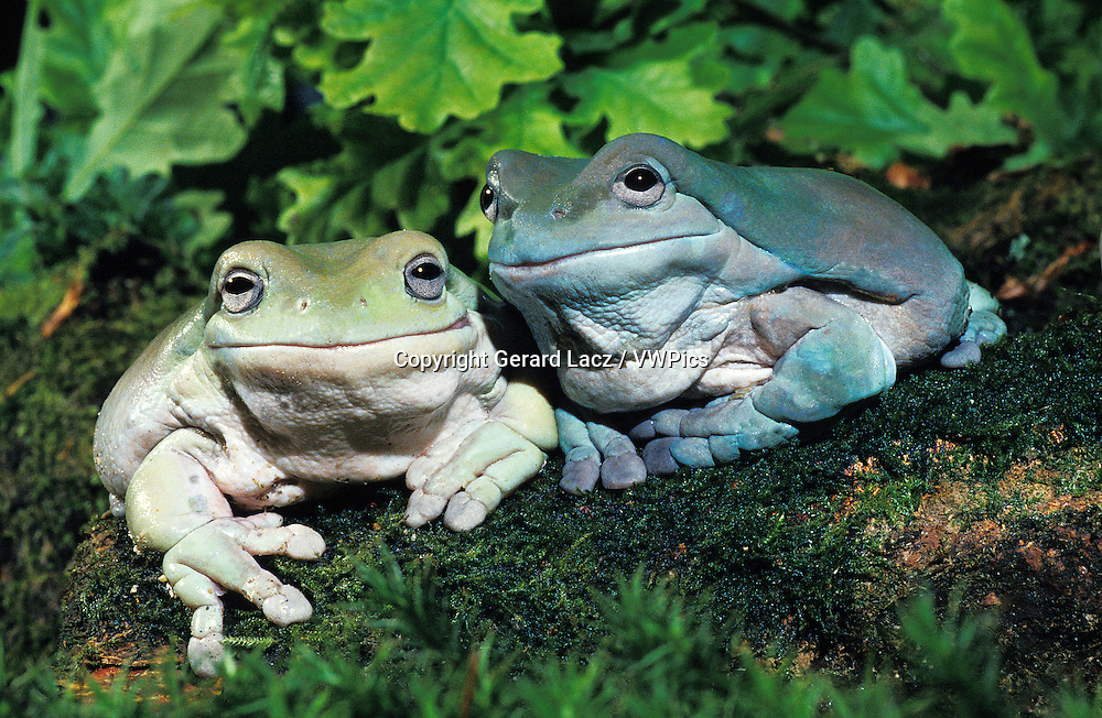 White's Tree Frog, litoria caerulea, Adults