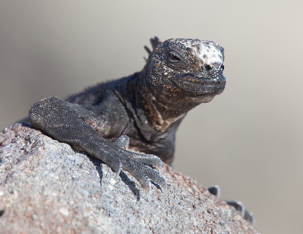 A Marine Iguana suns itself on North Seymour Island in the Galapagos.  Marine Iguanas feed in the ocean off of algae and seaweed, when they are not feeding they are on land soaking up the warm sun or bodily heat from each other.