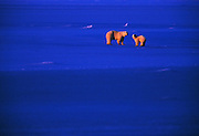 Landscape Wildlife Photographer and Nature Decor Photography Randy Wells, Image of mother and cub polar bears (Ursus maritimus) walking on a snow field at sunset near Churchill in Manitoba