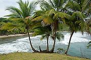 Coconut palm trees at the beach in Colon Island. Bocas del Toro, Panama, Caribbean, Central America.