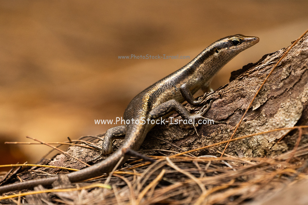The Seychelles skink (Trachylepis seychellensis) is a species of skink in the Scincidae family. It is endemic to the Seychelles. Photographed in the Seychelles in October
