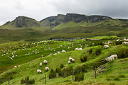 Sheep under Bioda Buidhe mountain and Trotternish Ridge, along the minor paved road between Staffin and Uig, on the Isle of Skye, Scotland, United Kingdom, Europe.