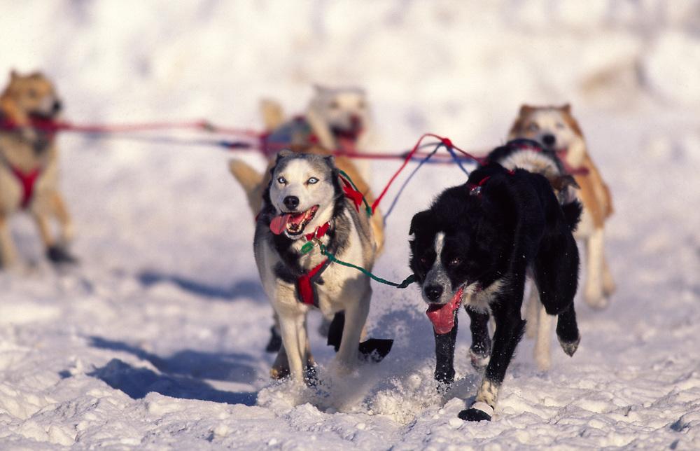 Alaska. Alaskan sled dogs.