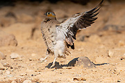 Crowned Sandgrouse (Pterocles coronatus) ruffling feathers Near a water pool Photographed in the Negev Desert, israel in June