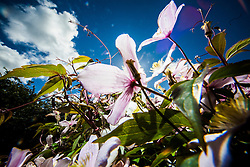 Clematis bloom against the afternoon sun, June 2015.