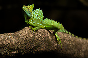 "The Sun acts as a spotlight for a Plumed Basilisk in the Costa Rican Caribbean reinforest. As it can run over water without sinking it is also called ""Jesus Christ lizard."" (Basiliscus plumifrons)"