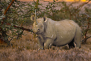 Black rhino, one of only about 60 in the 10,000 square mile Serengeti ecosystem; critically endangered; poaching is rampant. Once numbered in the thousands here.