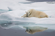 A polar bear relaxes at the edge of the ice in the Barents Sea.