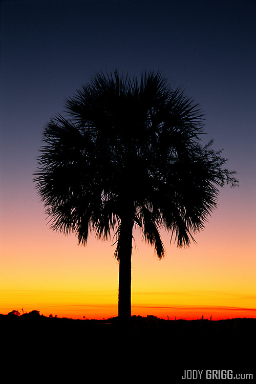 A palmetto tree at dawn near Folly Beach, South Carolina