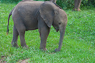 Young elephants must learn to use their trunk for eating and drinking