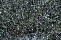 Snow falling in big flakes in front of a coniferous forest