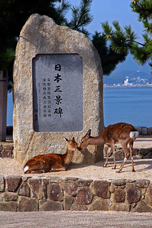 Asia, Japan, Miyajima. Deer grace the walkways along Miyajima Island toward the Itsukushima Shrine.