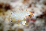 Macropharyngodon meleagris (Black Spotted Wrasse)