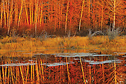 Aspen and jack pine trees reflected in Whiteshell River at sunset<br /> Whiteshell Provincial Park<br /> Manitoba<br /> Canada