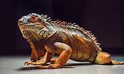 A biology department pet. (GU photo by Zack Berlat)
