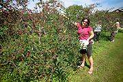 Picking cherries near Fish Creek in Door County, Wisconsin.  Mike Roemer Photo
