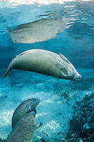 Florida manatee, Trichechus manatus latirostris, a subspecies of the West Indian manatee, endangered. Two male manatee calves take a break from playing while one of their mothers swims in. She is swimming with her belly away from them on purpose. When calves begin to play intimately it may be a sign it is time for the mother to wean them. One of a series of calf intimate play or cavorting play behaviors. Horizontal orientation and blue water and reflection. Three Sisters Springs, Crystal River National Wildlife Refuge, Kings Bay, Crystal River, Citrus County, Florida USA.