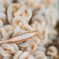 Xenia Shrimp, Hippolyte commensalis, Pom Pom Island, Sabah, Borneo, East Malaysia, South East Asia