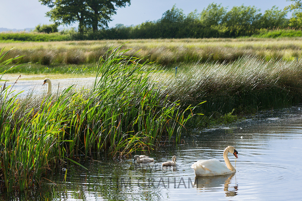 Male (cob) and female (pen) adult mute swans, Cygnus olor, and cygnets in summer at Otmoor Nature Reserve wetland, UK