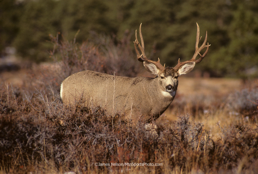 12-871. Mule deer buck in the Rocky Mountains of northern Colorado.