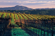 Morning light over vineyard in winter, along Dry Creek Road, Sonoma County, California