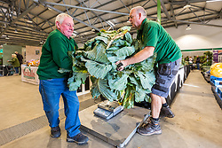 © Licensed to London News Pictures. 13/09/2019. Harrogate UK. Judging has started this morning in the giant vegetable competition at the Harrogate Flower Show in Harrogate, Yorkshire. Photo credit: Andrew McCaren/LNP