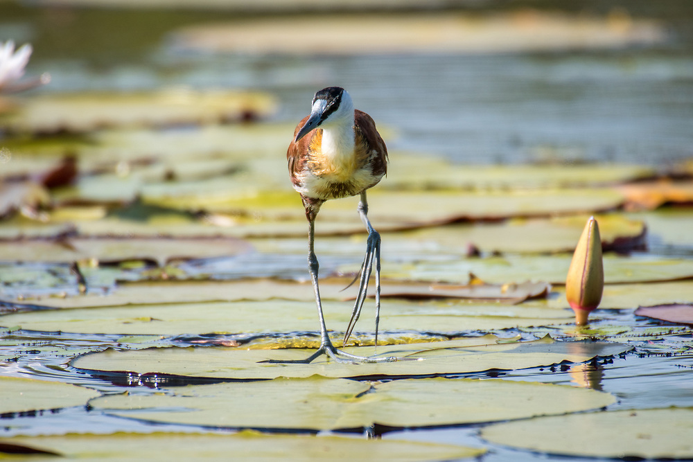 "The African jacana, or ""Jesus bird"" glides across a group of lily pads. Chobe National Park - Botswana"