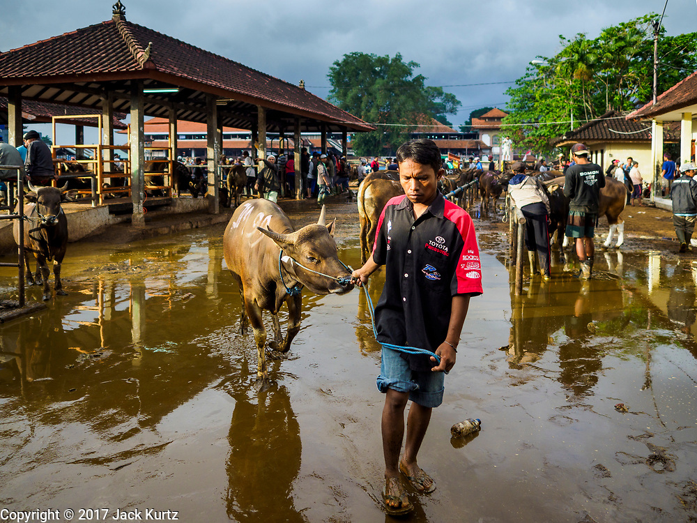 06 AUGUST 2017 - MENGWI, BALI, INDONESIA: A man leads his Bali cow to the sale area in the Bringkit Market in Mengwi, about 30 minutes from Denpasar. Bringkit Market is famous on Bali for its Sunday livestock and poultry market. Hundreds of the small Bali cows are bought and sold there every week. Bali's local markets are open on an every three day rotating schedule because venders travel from town to town. Before modern refrigeration and convenience stores became common place on Bali, markets were thriving community gatherings. Fewer people shop at markets now as more and more consumers go to convenience stores and more families have refrigerators.     PHOTO BY JACK KURTZ