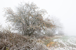 Apple tree in frost and snow on a winter's day in Gloucestershire. Malus