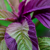 Purple and green amaranth greens.