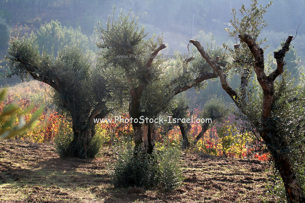 A plantation of Olive trees, Israel