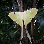 Luna moth, Taman Negara National Park, Peninsular Malaysia.