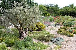 Old olive tree in a seaside gravel garden - Olea europaea