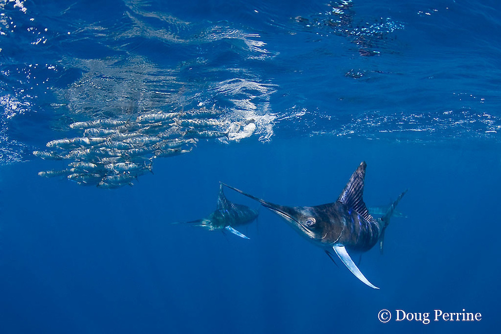 striped marlin, Kajikia audax (formerly Tetrapturus audax ), feeding on baitball of sardines or pilchards, Sardinops sagax, off Baja California, Mexico ( Eastern Pacific Ocean ) #3 in sequence of 5 images