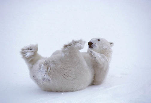 Polar Bear, (Ursus maritimus) Sub adult rolling in snow, playing with feet. Churchill, Manitoba. Canada.