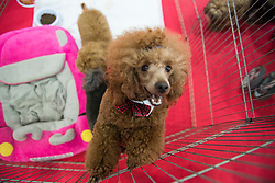 May 25, 2019, Turin, Piedmont, Italy: Four Feet at the Fair Event for pet dogs and cats. (Credit Image: © Stefano Guidi/ZUMA Wire)