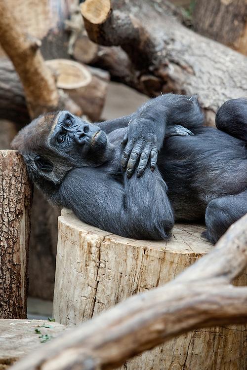 Der Gorilla Pavillion im Prager Zoo in Troja.