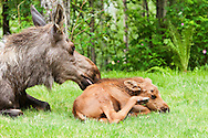 Less than a month old, a newborn moose calf rests next to her mother in the relative safety of a residential backyard in Eagle River in Southcentral Alaska.  Spring. Afternoon.