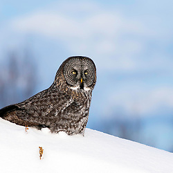 A great gray owl surveys his surroundings from a snowy hill.