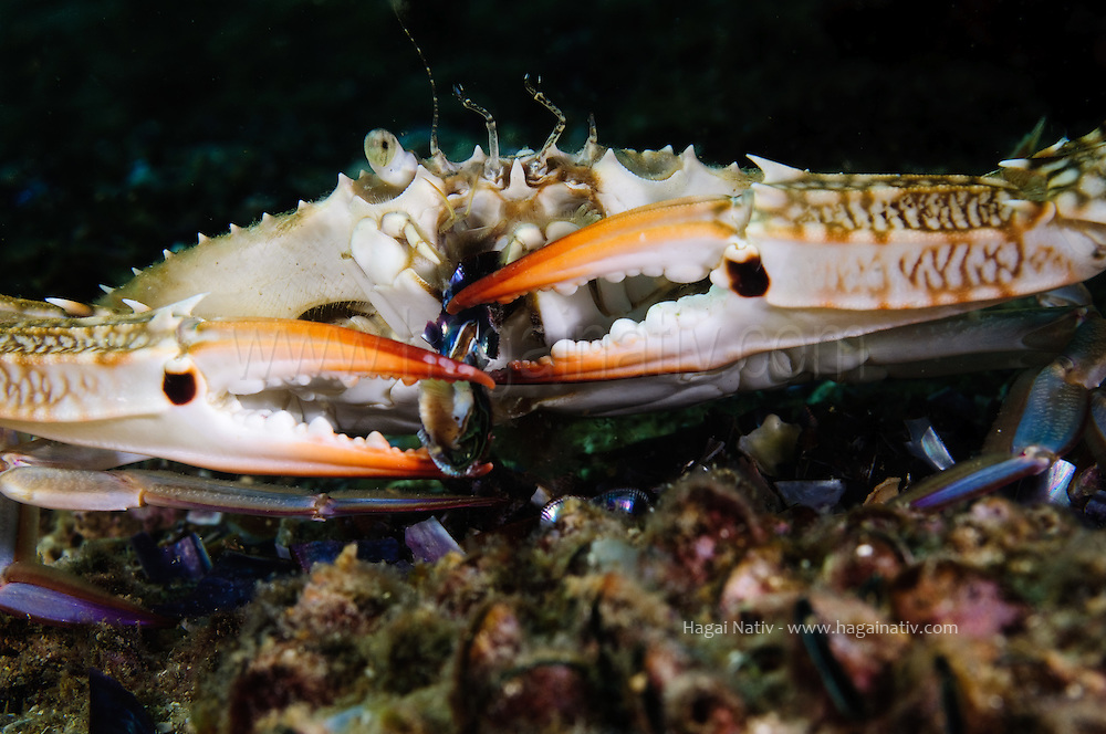 Portunus pelagicus, blue swimmer crab at the mediterranean