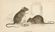 'House Mouse - Mus musculus: Small rodent. Hand-coloured engraving from ''A History of British Quadrupeds'',  Edinburgh, 1838.'