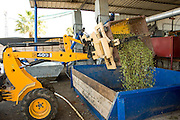 Harvested olives brought to the olive oil press. Photographed in Israel