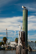 Seabirds perch atop  a boat mooring at the Sponge Docks in Tarpon Springs, Florida.