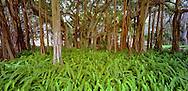 Banyan Tree, Sarasota, Florida