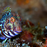 Alberto Carrera, Narural Colors Exhibition, Ringneck Blenny, Parablennius pilicornis, Mediterranean Sea, Spain, Europe