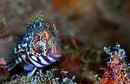 Alberto Carrera, Narural Colors Exhibition, Ringneck Blenny, Parablennius pilicornis, Mediterranean Sea, Spain, Europe