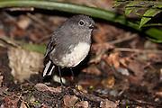 Stewart Island Robin, Ulva Island, New Zealand