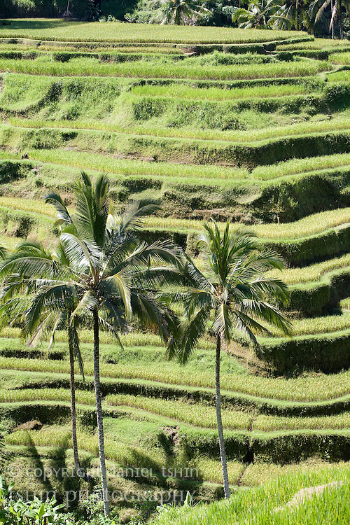 Terraced rice paddies